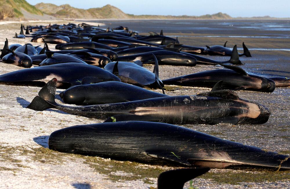 Uus-Meremaa rannikul hukkusid sajad vaalad
