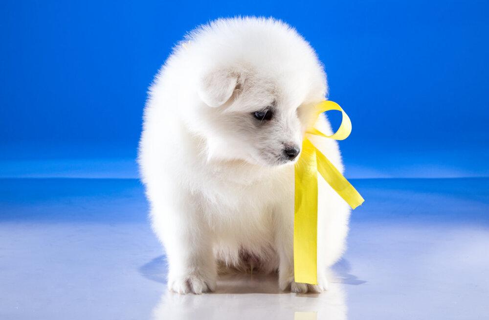 Kas sina tead, mis sõnumit kannab kollane lint koera kaelarihmal?