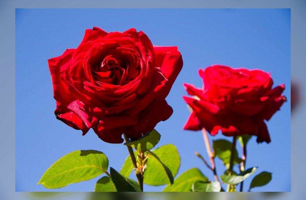 Таллиннский ботанический сад приглашает на легендарные Дни роз