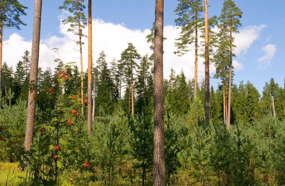 Mis siis saab, kui kõik metsad korraga maha raiutakse