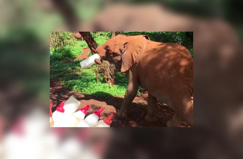 VIDEO | Piimapudeli vargile tulnud elevandipoeg tabati otse teolt