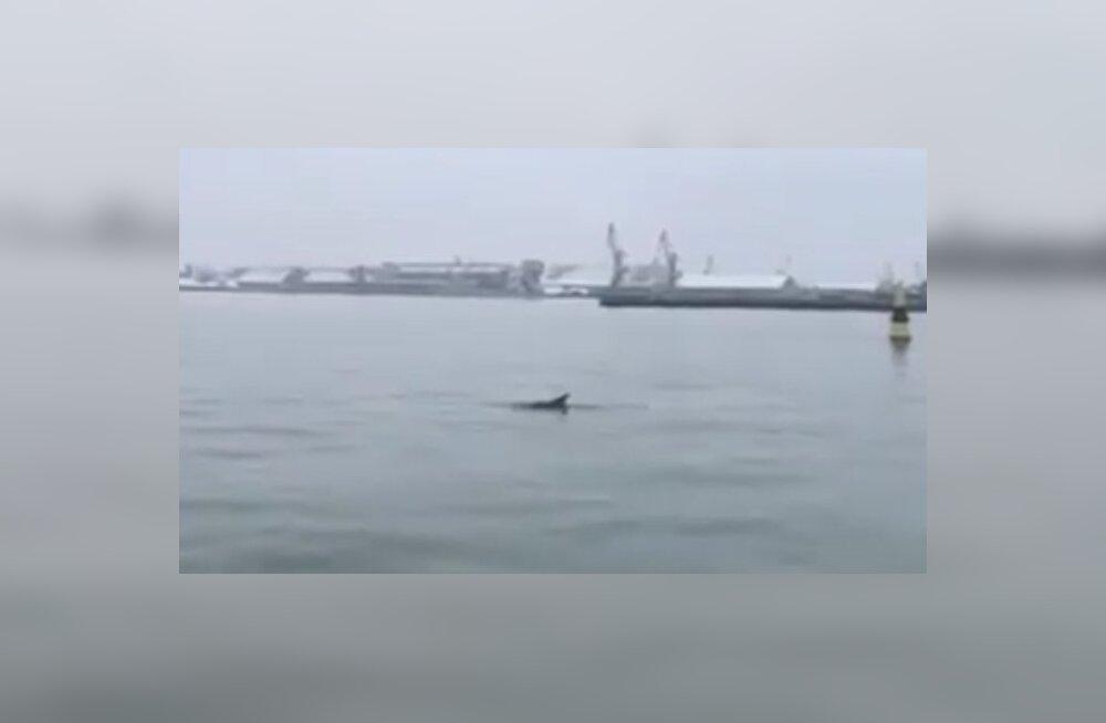 VIDEO | Läti Liepāja sadama vetesse saabus delfiin