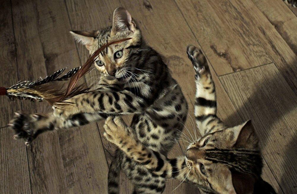 Mäng on treening, mida loomad harrastavad inimestega koos elades.