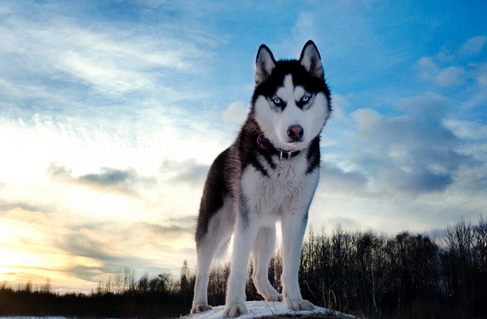 Milline on sinu elustiiliga sobiv koeratõug?