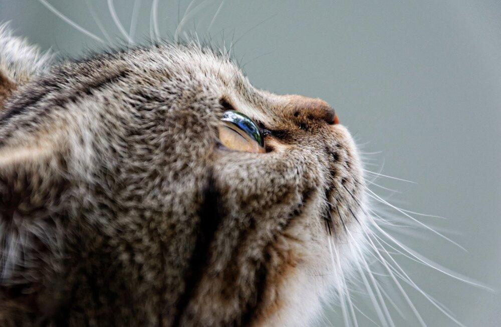 ÜRITUS | Kassimaailma aasta tippsündmus: Lauluväljakul tuleb suurejooneline kassinäitus