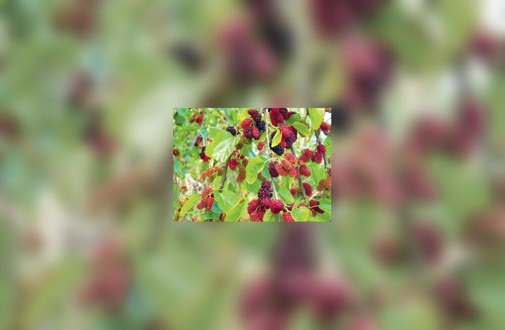 Maitsvate viljadega mooruspuu