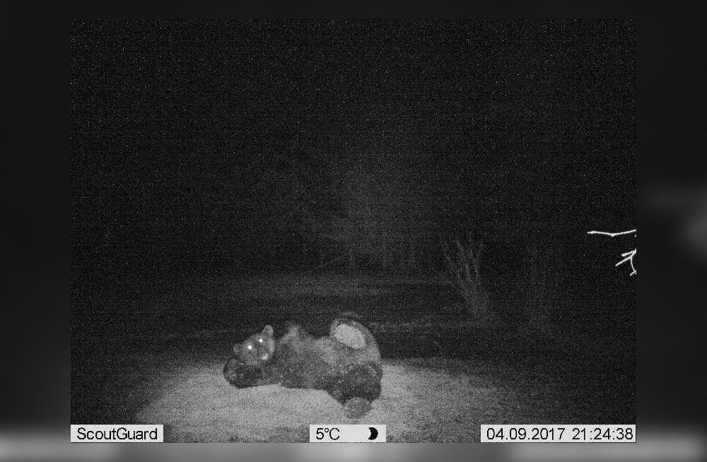 FOTOMODELLIST KARU | Vaata, kuidas ohtlik kiskja loomakaamera ees tembutab