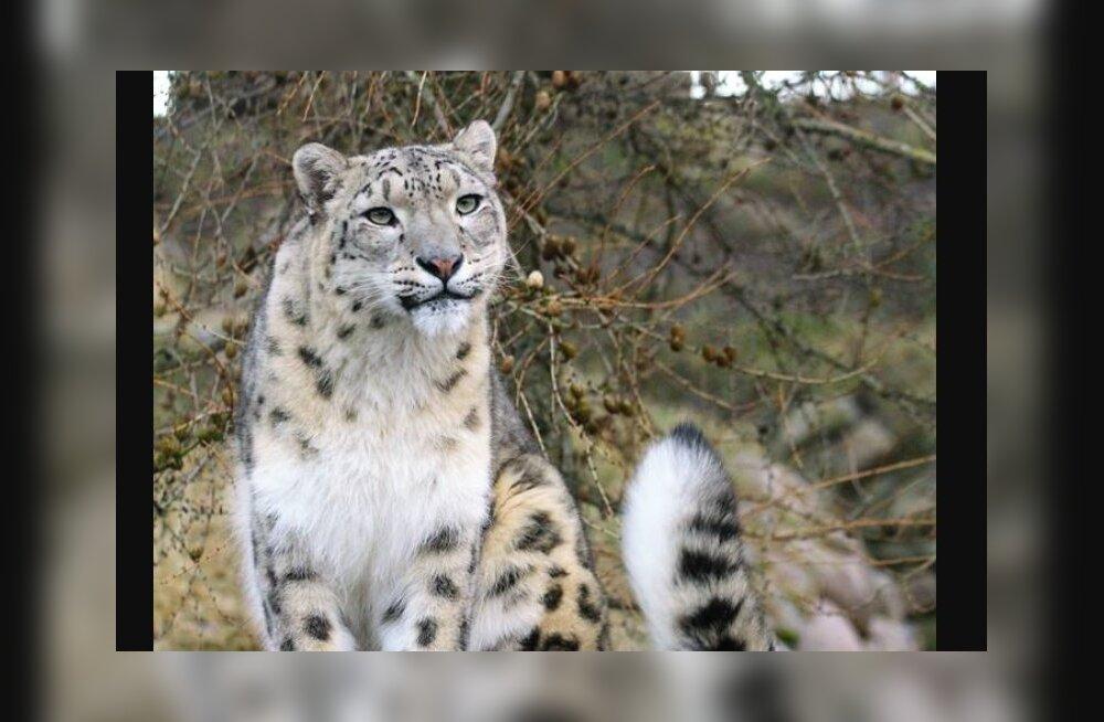 Loomaaia lumeleopard Deli tähistab täna oma sünnipäeva