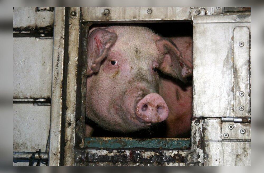 ВИДЕО: Защитники животных засняли, что происходит на эстонских свинофермах