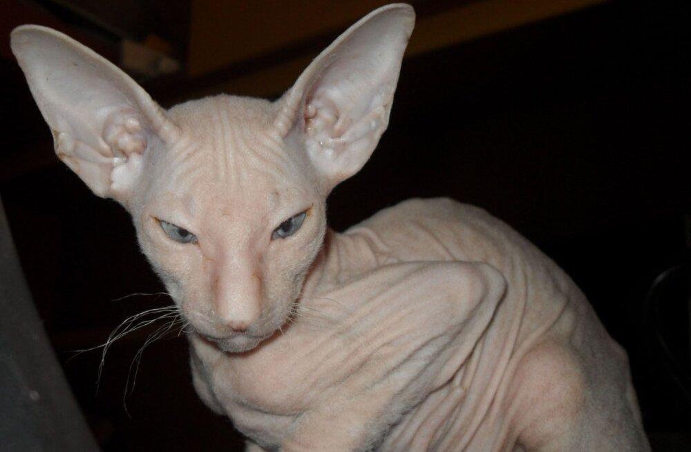 Peterbald: kuulus, kummaline karvutu kass