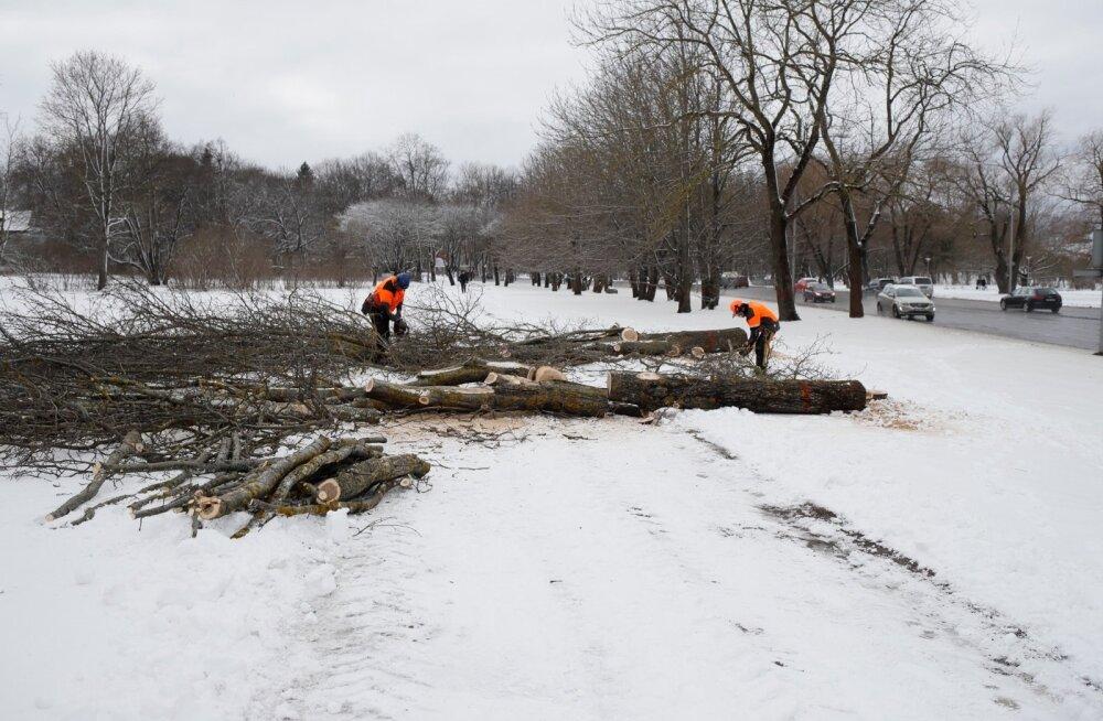 Reidi tee pärast maha võetud puudest osa läheb loomaaia elanikele turnimispuudeks