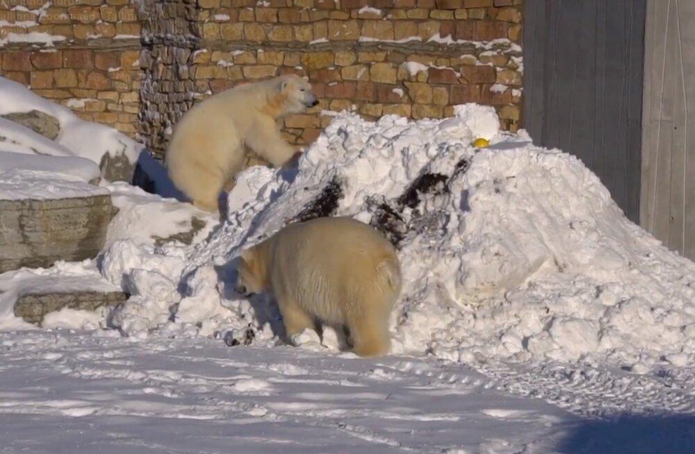 VIDEO   Lumes lustinud jääkarud üllatasid loomaaia külastajaid vahva vaatemänguga