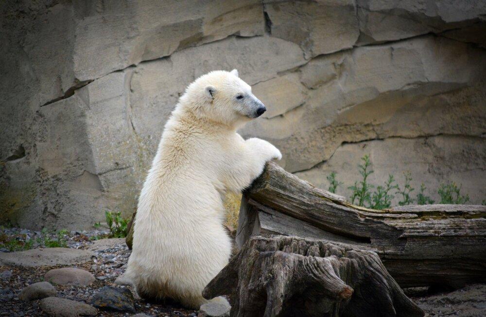See on kõik vaid üks suur pettekujutlus: valget värvi jääkaru ei olegi tegelikult valge