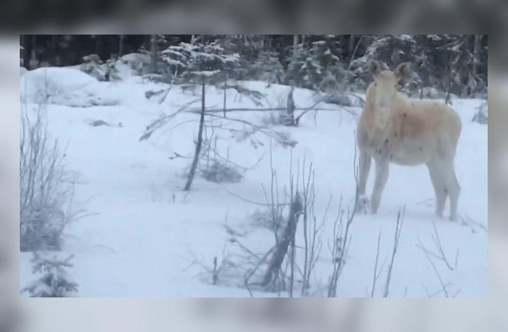 VIDEO | Soomes jäi kaamera ette üliharuldane valge põder