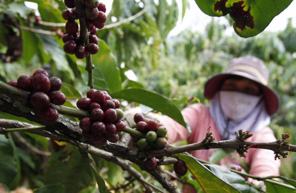 2080. aastaks võib kohvist saada vähestele kättesaadav delikatess