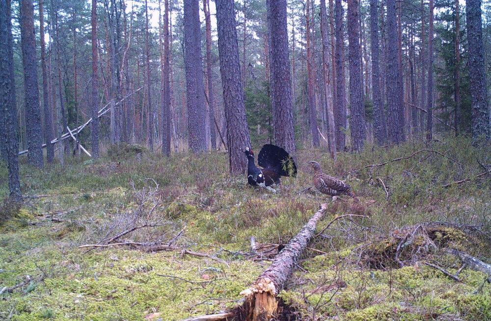 Metsist ohustavad nii kiskjad kui metssigagi