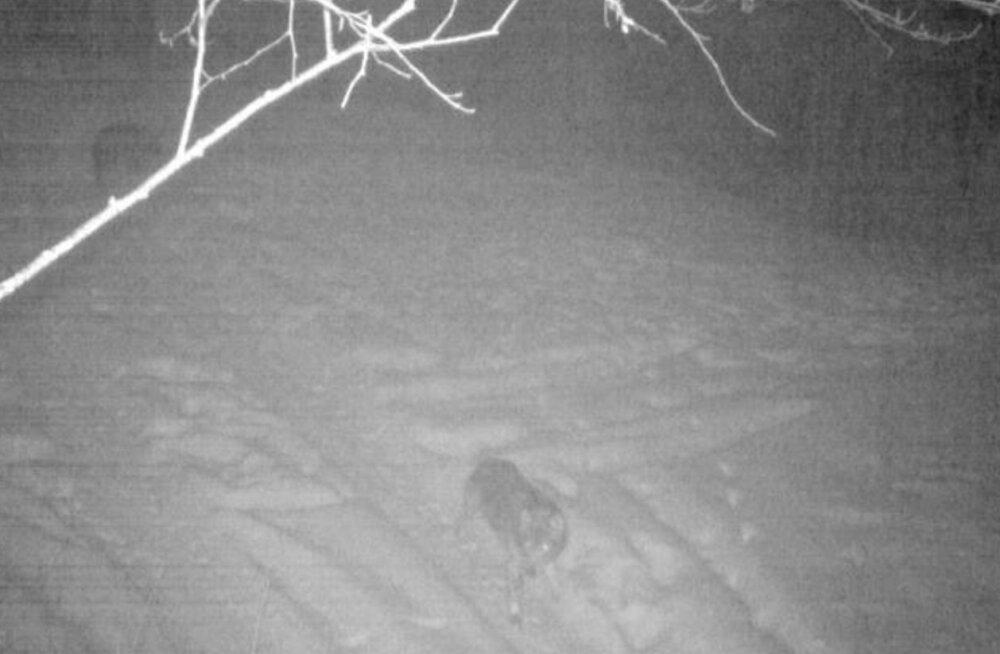 Noarootsi jahimehed küttisid kärntõves hundi, tegu võis olla ühega Pürksis koera purenuist