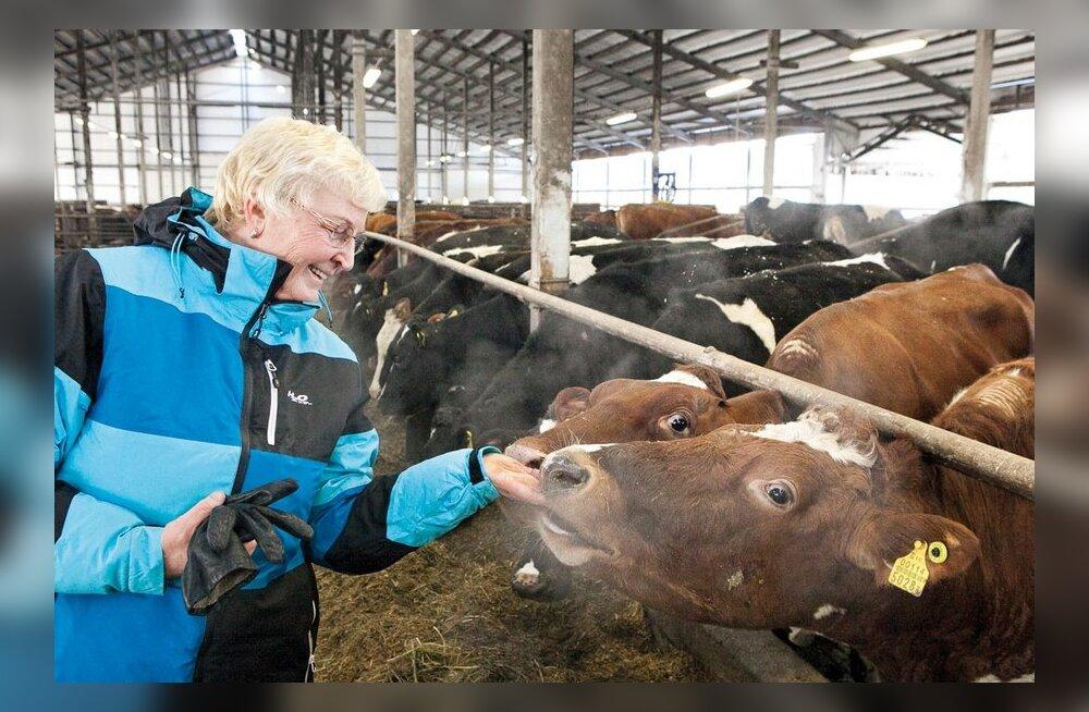 VIDEO: Piimatoodang sõltub sellest, kuidas loomade eest hoolitsetakse