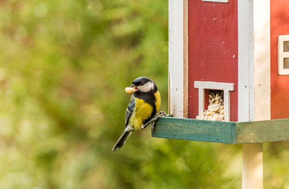 Uuring: rasvatihased on intelligentsed linnukesed, kes suudavad enda impulsse kontrollida