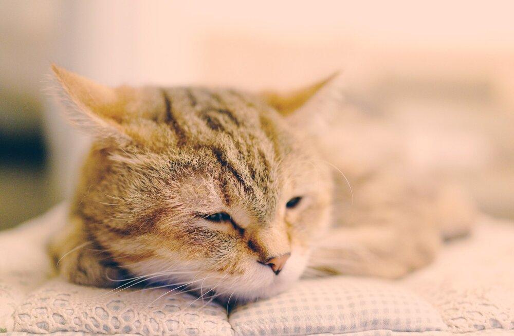 Kummaline komme: miks eakad kassid kodust lahkuvad ja eemale surema lähevad?