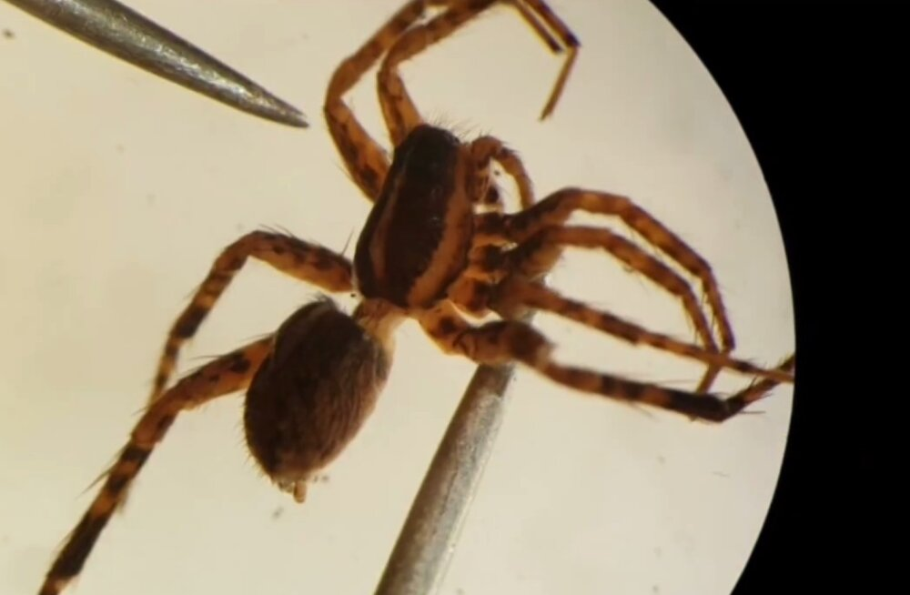 Eesti on nüüd kuue ämblikuliigi võrra rikkam
