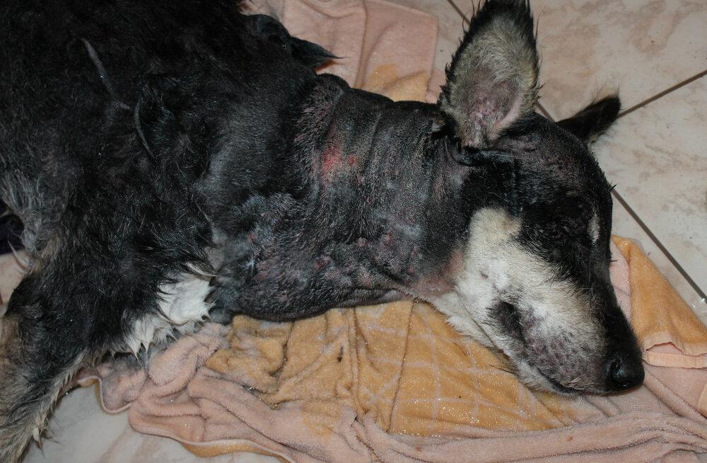 FOTOD: Õõvastav koerapiinamisjuhtum Raplamaal: arstid võitlevad vakladest puretud koera päästmise nimel