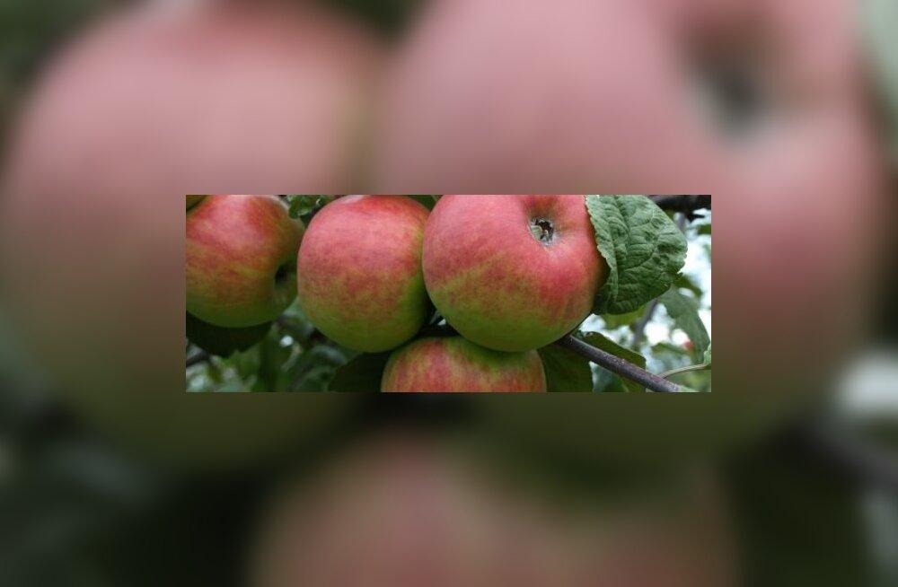 Õunad äädikaks esiemade viisil