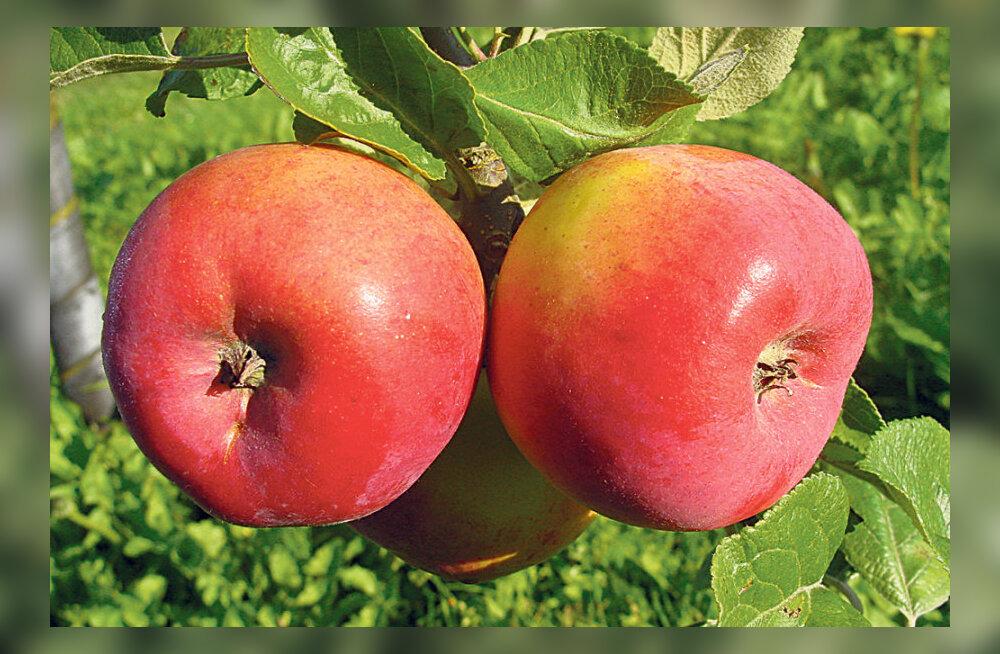 Ristsed puuvilja- ja marjaaias