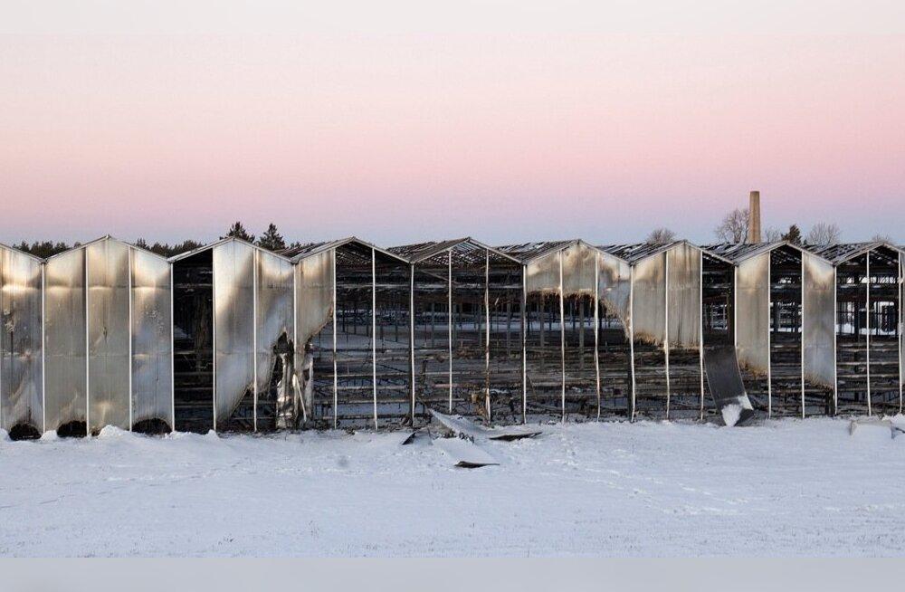 Tulekahjus hävis umbes 10 000 ruutmeetrit kasvuhoonet, säilinud osa moodustab vaid kolmandiku senisest tootmispinnast