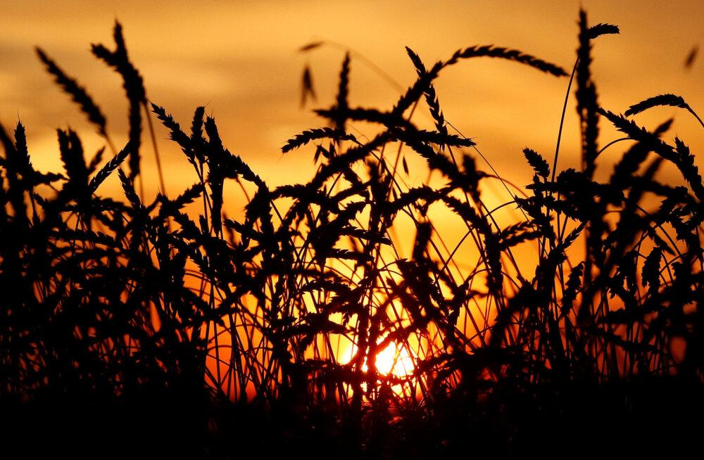 Euroopas võib nisuga kitsaks kiskuda