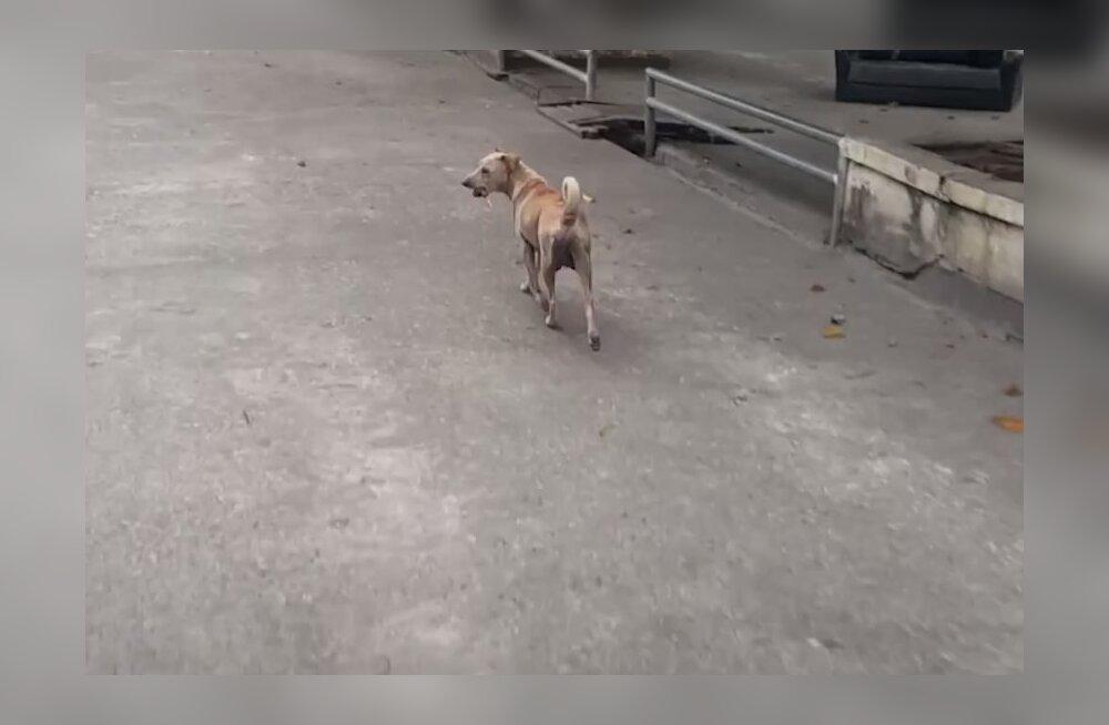 VIDEO | Hoolikalt varjatud saladus: hulkuv koer säilitas õhtusöögi hoopis kellegi teise jaoks
