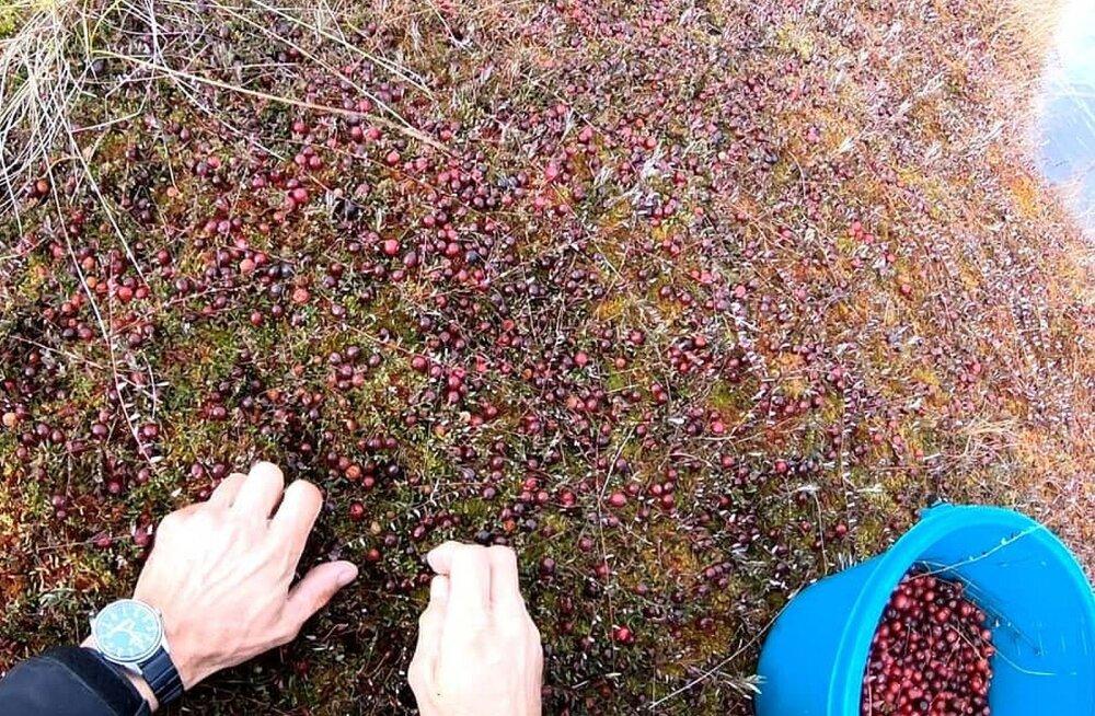 FOTO | Poole tunniga seitse liitrit: Soomaa jõhvikaline õpetab, kust otsida sellist marjavaipa