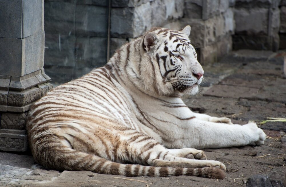 Need neli valget tiigrit ei ole päikesevalgust näinud juba 12 aastat, nüüd on neil lootust