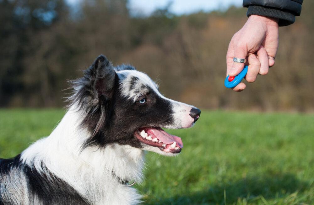 Mis on klikker ja kuidas selle abil koer hästi käituma panna?