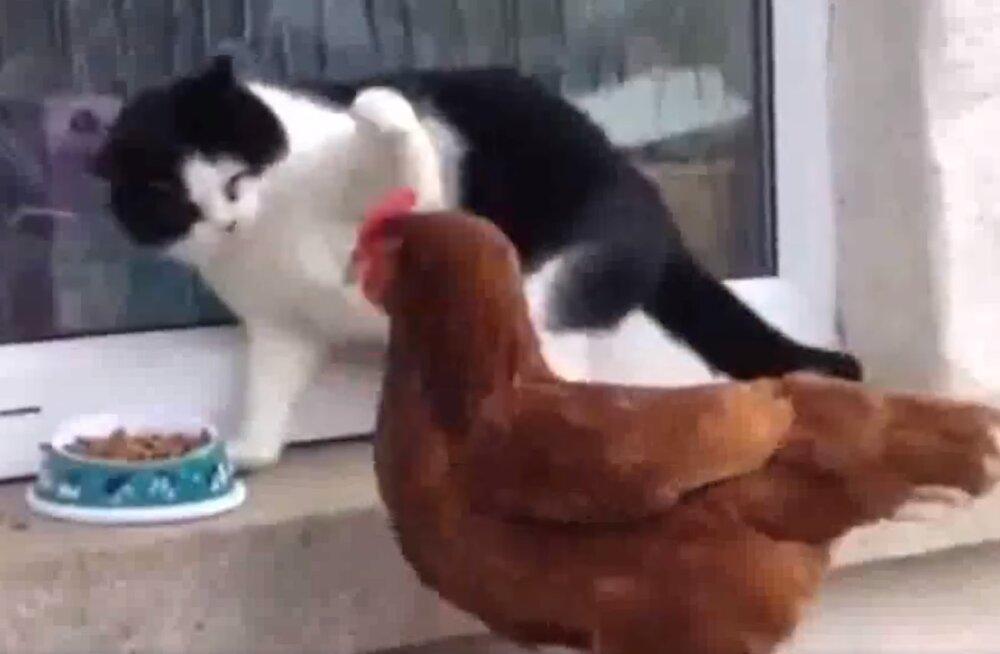 VIDEO   Kõht tühi? Ablas kana ei hoia end tagasi ja kui vaja, näitab kassilegi koha kätte