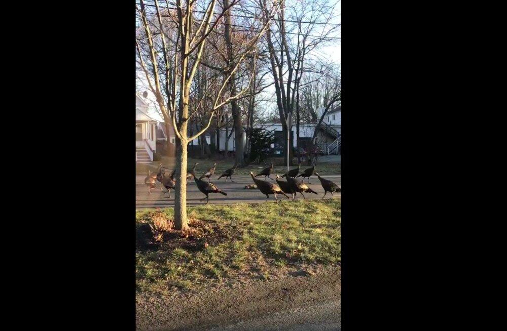 Kummaline vaatepilt: kalkunid asusid tänaval vedeleva surnud kassi ümber leinamarssi pidama