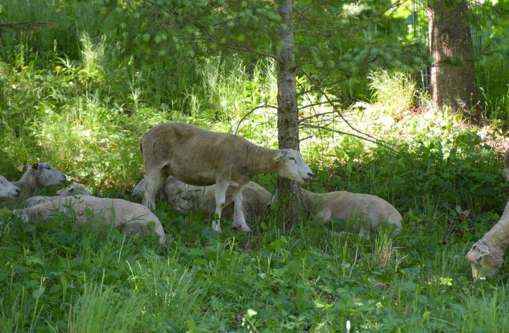 Muhu saarel murtakse taas lambaid – ei teata, kas hunt või šaakal
