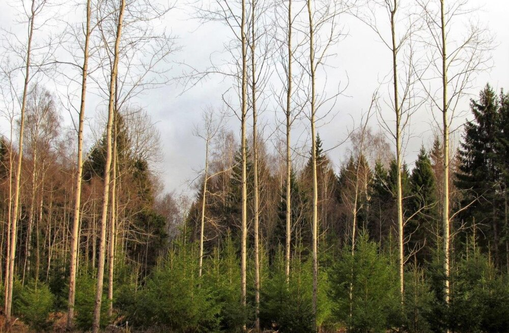 Leili metsalood   Valge aja ootus