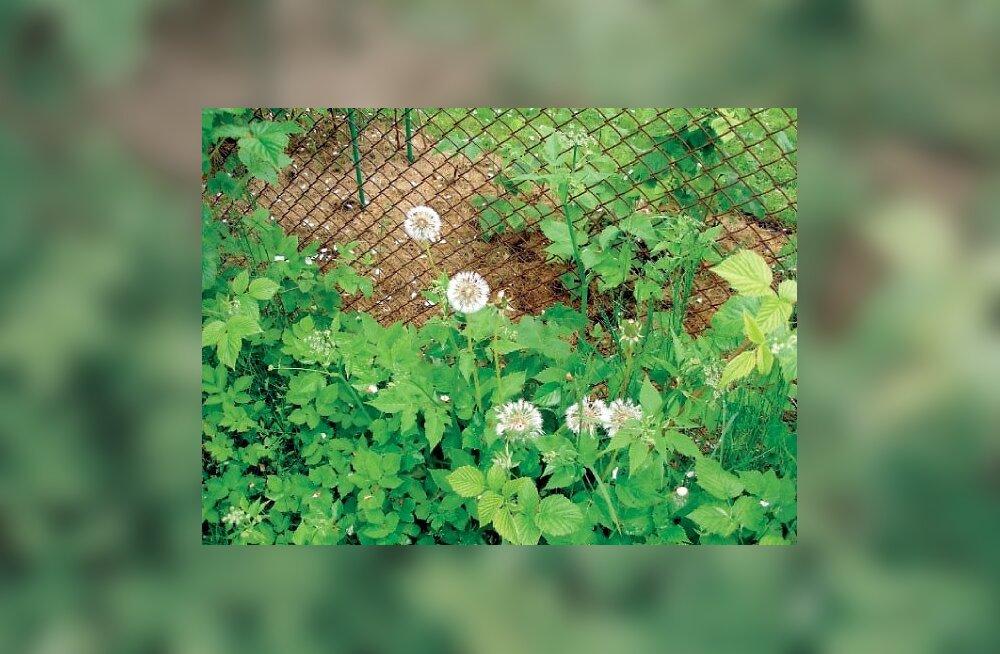 Umbrohtus aed