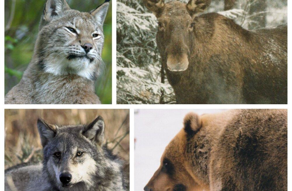 Eesti saab endale kevadel rahvuslooma, kes saab olema meie metsade põlisasukas