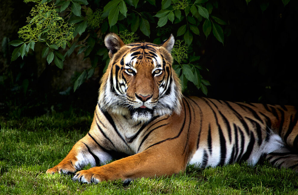 Mida näitab sinu looma-aasta märk? 12 fakti Tiigri aastal sündinud inimeste kohta