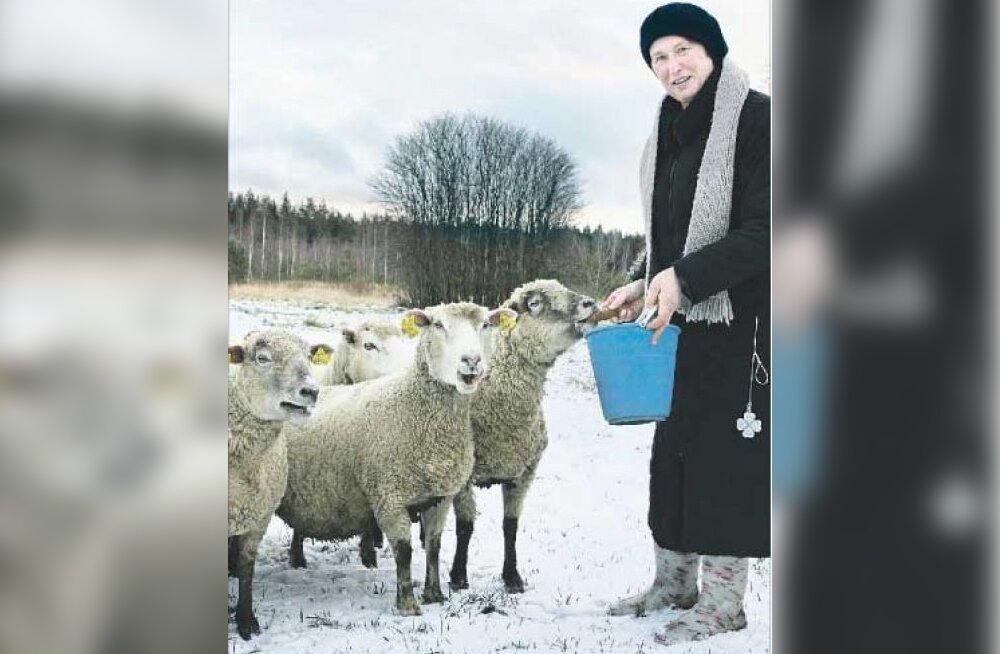 Häda lammastega: anna või huntidele pärast