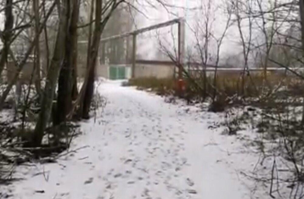 VIDEO   Rapla südalinnas jalutas emakaru koos oma kolme pojaga