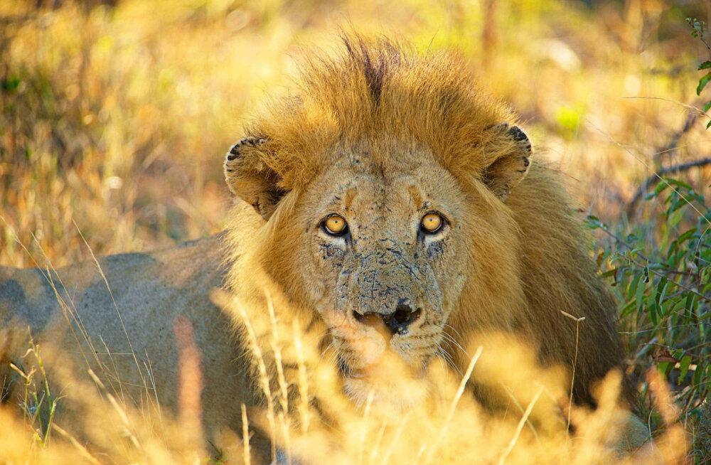 LOOMARAHVA KÄTTEMAKS   Ahne röövküti elutee lõppes lõvi kõhus
