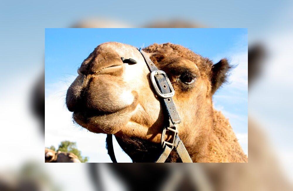 """""""Õnneks ta ei kippunud hammustama"""": Egiptuses talvituv Eesti pensionär täitis unistuse ja ostis kaameli"""