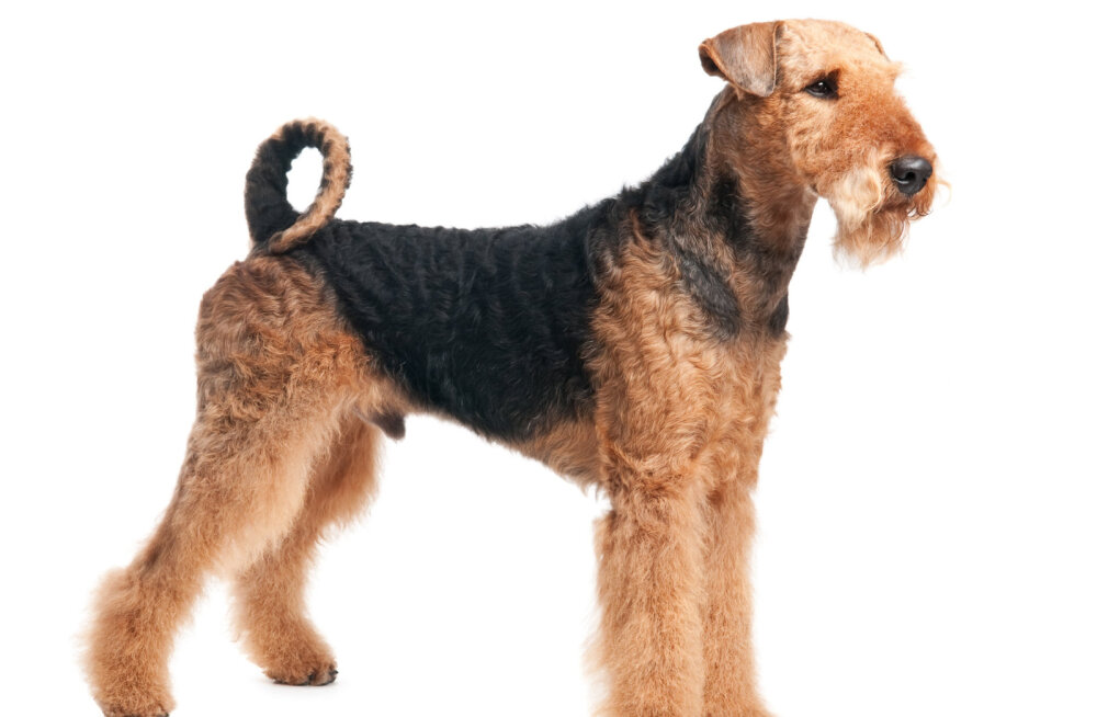 Airedale'i terjer