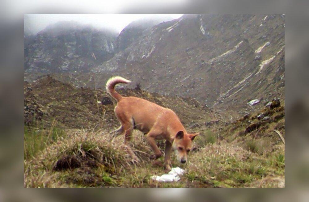 Taasavastatud: loodusest leiti maailma kõige haruldasem ja iidsem koeratõug