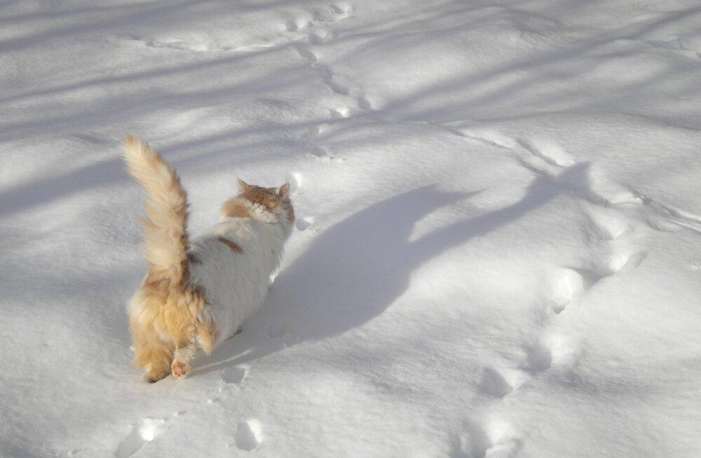 Kas uitama läinud kass oskab iseseisvalt õige kodutee üles leida?