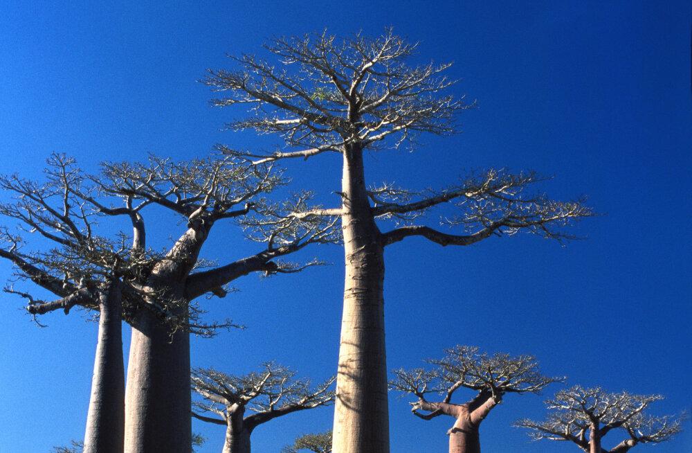 Aafrika kuulsaim ja omanäolisim puuliik on seletamatul põhjusel hukkumas
