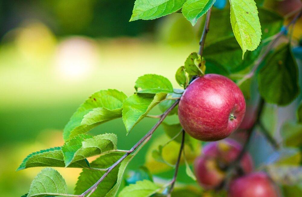 Mida peaks õunapuude heaks suvel tegema?
